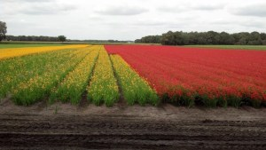 Dutch Flowers2