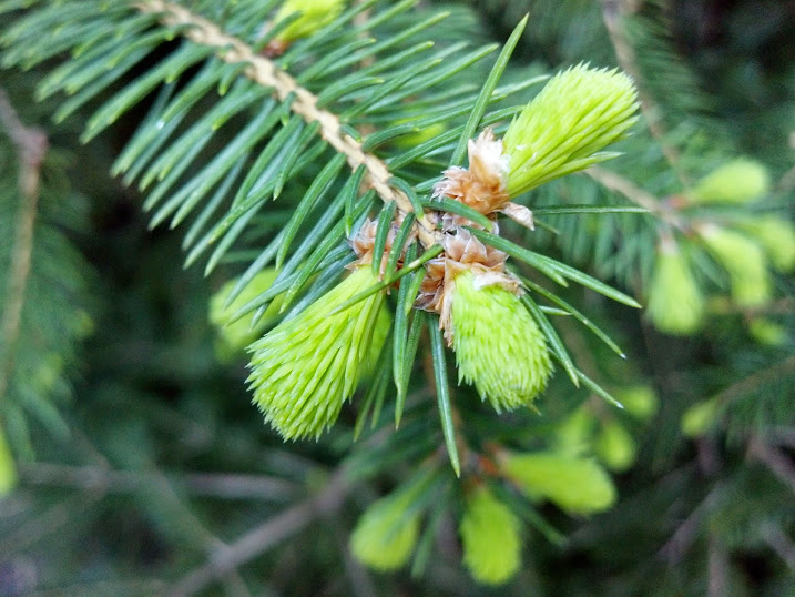 Blue_Spruce_Tips